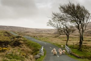 Sheep on Wicklow Uplands